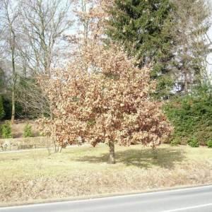 Eichenbäume