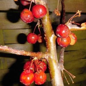 zierapfel-red-sentinel-frucht