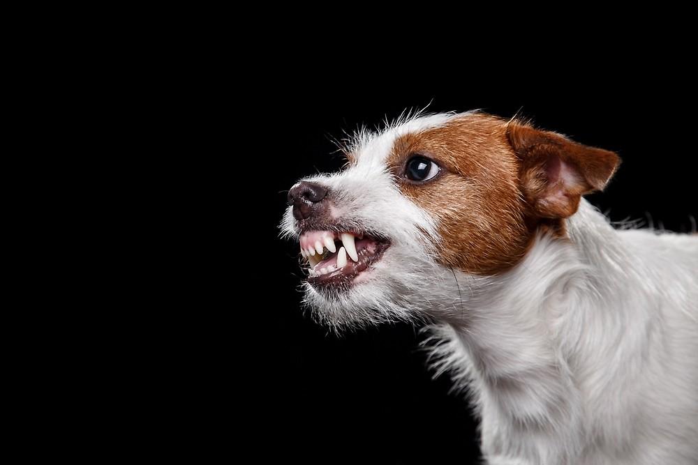 Cane simile a Pocho (jack rusell)