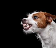 Pocho, il cane antidroga che la Camorra vuole morto