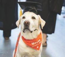 Moose il labrador ottiene una laurea in medicina