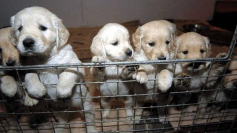 Traffico cuccioli Porpetto