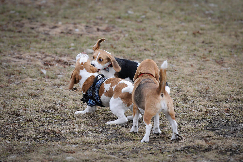 dogs-biting