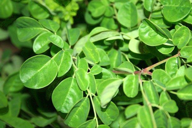 عشبة المورينجا