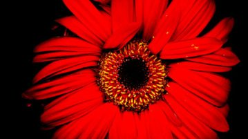 cropped-Red-Daisy-1-2.jpg