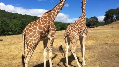Going on safari, Sonoma-style, with giraffes, cheetahs and more