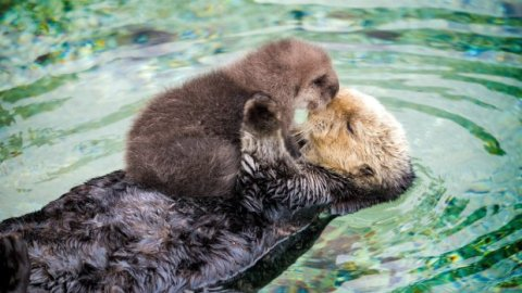 Otter-mania: Monterey Bay Aquarium's adorable stars