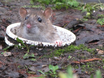 The Invigorating Pleasure of Witnessing a Well-Contested Rat-Fight