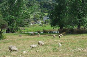 Nordinsel Schafe