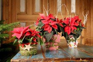 10 Sanft umhüllt - Moos und Stoff kleiden den Wiehnachtsstern