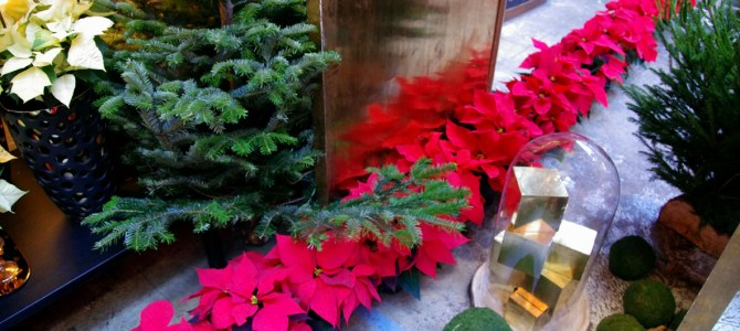 Traumhafte Weihnachtsstern-Arrangements
