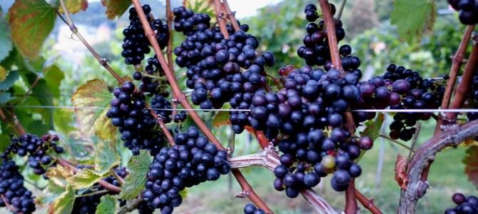 Kulinarische Erlebnisse in der Steiermark: Schilcher Wein, Buschenschänke, Käferbohnen und das Genussregal