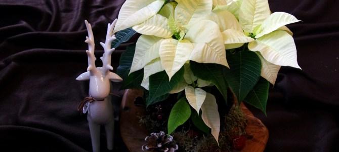 Adventliches Weihnachtsstern-Arrangement