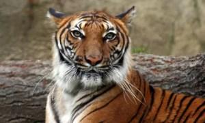 Die Vertreter der dreizehn Tiger-Staaten hätten konstruktiv und ergebnisorientiert zusammengearbeitet. Vorgelegt wurde ein solider Plan, der sich klar zu dem Ziel bekennt, die Tiger-Bestandszahlen bis 2022 zu verdoppeln. Bild: Connie Lemperle / WWF Greater Mekong Foto_Quelle: reisenews-online.de