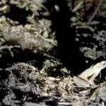 Kröten könnten Kakaoernte in Indonesien sichern