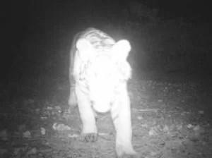 Versteckte Kamera erwischt Tiger und Waldzerstörer Foto dpa Fotoquelle: de.news.yahoo.com