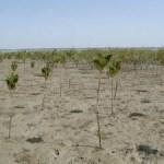 Indonesien: Lehrer schützen Mangroven