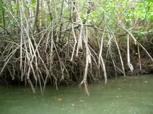 Mangrovenwurzeln bei Niedrigwasser. (Foto: kento.ikeda/flickr) Fotoquelle: klimaretter.info