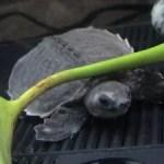 600 kleine Schildkröten kehren zurück