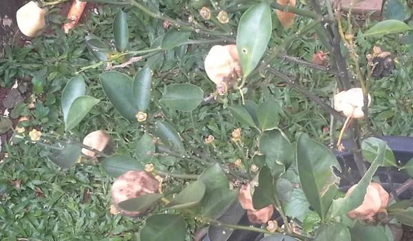 Trauriger Anblick: verfaulte Mandarinen an einem unserer Mandarinenbäumchen