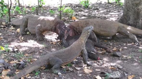 Komodowaran beißt Tourist / Foto Wikipedia, Achmad Ariefiandy