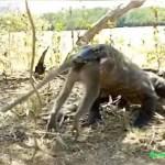 Komodowaran verschlingt ganzen Affen