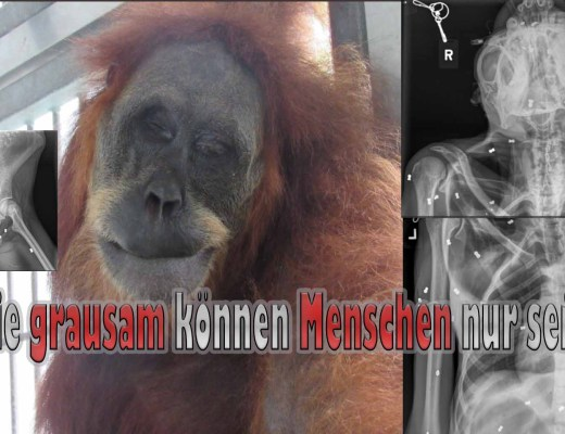 Orang-Utan mit 74 Gewehrkugeln im Körper gefunden / Fotos: Twitter