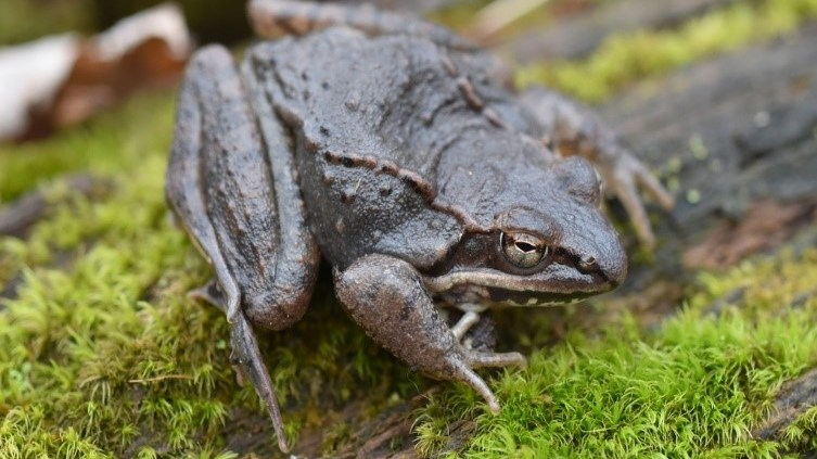 Adult male wood frog