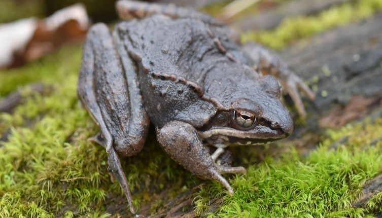 Adult male wood frog