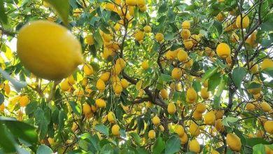 Turkey subjects lemon to export control amid COVID-19 28