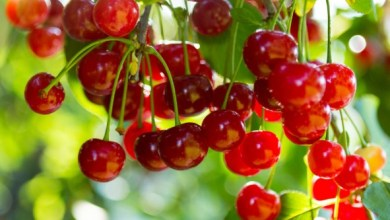 Photo of Turkey exported 70,000 tons of cherry since Jan 2020