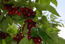 Malatya's certified dalbasti cherry export was 4.5 million liras 11