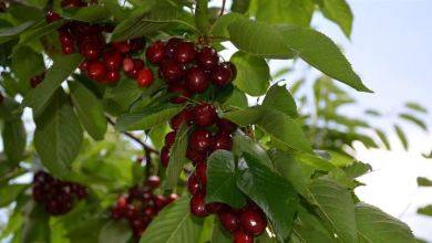 Malatya's certified dalbasti cherry export was 4.5 million liras 6