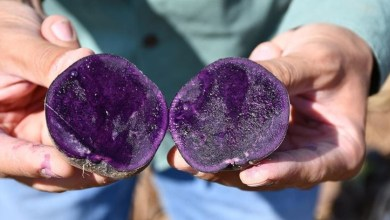 Photo of Ilkmor, Turkey's first and only registered native purple potato has been grown in Sivas and Konya