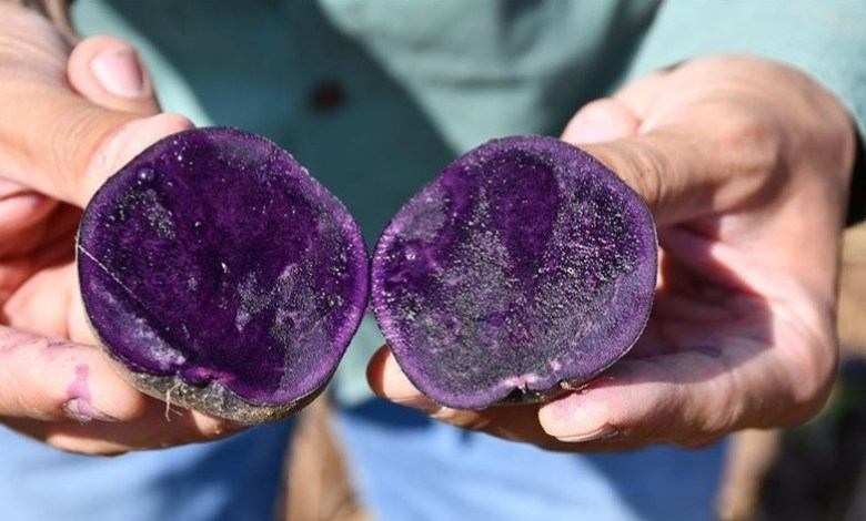 Ilkmor, Turkey's first and only registered native purple potato has been grown in Sivas and Konya 1