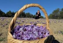 Photo of Safranbolu produced 26 kilograms of saffron plant this year