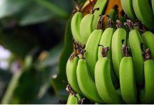 Turkey's banana production up 32.8% in 2020 21