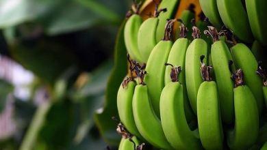 Turkey's banana production up 32.8% in 2020 8
