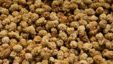 Dried mulberry exported from Malatya, Diyarbakir & other cities to 44 countries 8