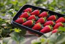 Fresh strawberries are exported throughout the year with soilless agriculture from the Western Mediterranean 10