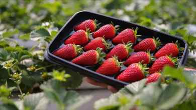 Fresh strawberries are exported throughout the year with soilless agriculture from the Western Mediterranean 8