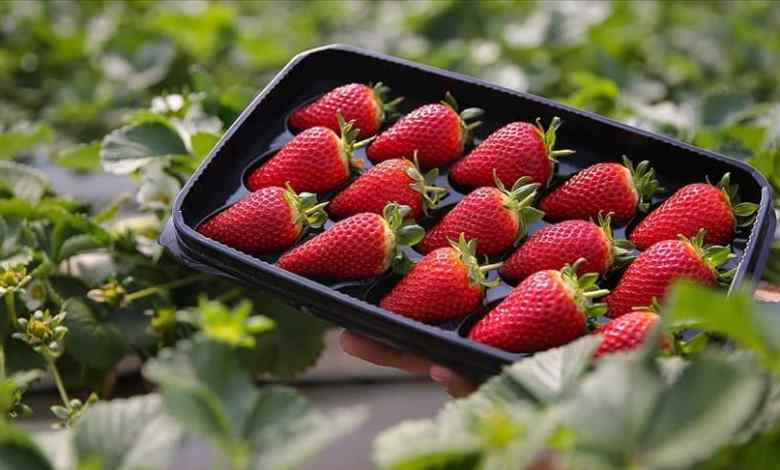 Fresh strawberries are exported throughout the year with soilless agriculture from the Western Mediterranean 1