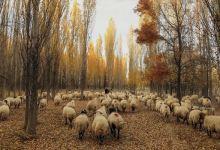 Turkey: Mutant gene of multi-births seen in local sheep 3