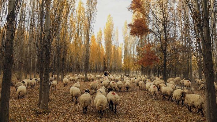 Turkey: Mutant gene of multi-births seen in local sheep 1