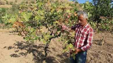The pistachio harvest in Siirt provides ₺10 billion to Turkey's economy 5