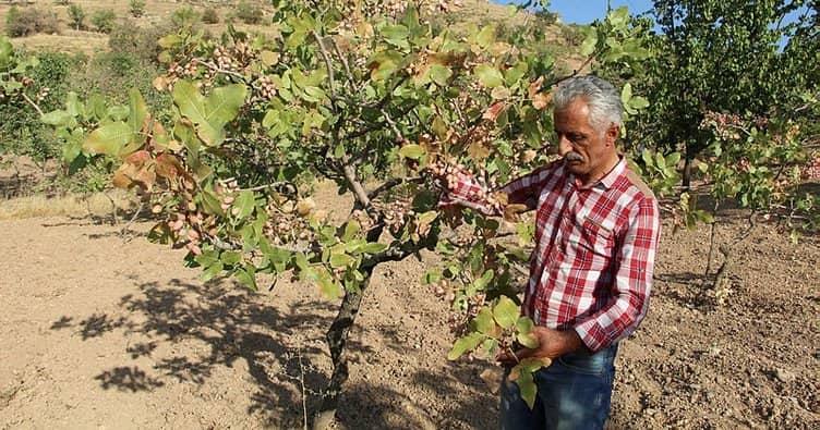 The pistachio harvest in Siirt provides ₺10 billion to Turkey's economy 1