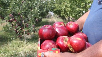 Apple export from Konya to Asian countries 10