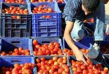 Turkey: Tomato export of $264 million 771 thousand in 9 months 3