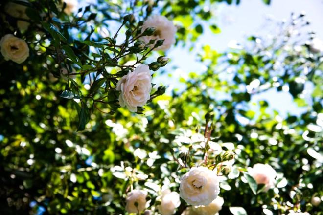 il giardino, le rose, B&B il casale