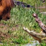 A Fight Between a Lion And a Crocodile